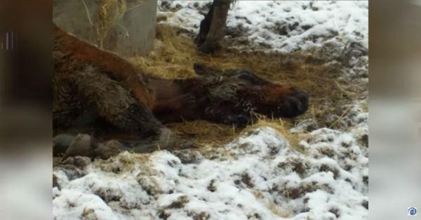 Βρήκε αυτό το κακόμοιρο άλογο να αργοπέθαινει μέσα στο κρύο και του έδωσε ξανά ζωή (εικόνες, βίντεο)