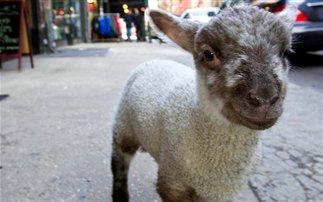 Νέα Υόρκη: Η νέα μασκότ της πόλης είναι ένα… αρνάκι (εικόνες)