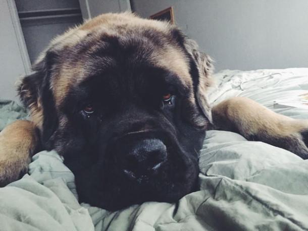 σκύλοι κρεβάτι