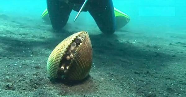 Μπορεί να μοιάζει με ένα συνηθισμένο κοχύλι όταν όμως κουνηθεί σας αφήσει με το στόμα ανοιχτό! (βίντεο)