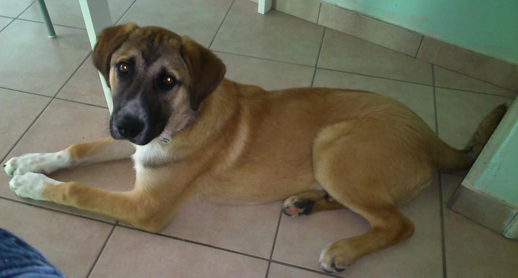 χαρίζονται σκύλοι αγγελίες σκύλων Αγγελίες