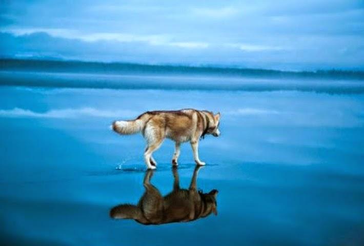 Χάσκι Σιβηρικά Χάσκι λίμνη