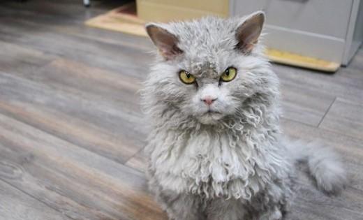 Γνωρίστε τον Άλμπερτ: Μια γάτα με μπούκλες και αυστηρότατο βλέμμα!
