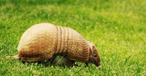 Αρμαντίλλο: Γνωρίστε το τεθωρακισμένο της φύσης (εικόνες)
