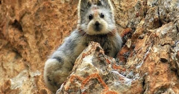Ili Pika: Το χαριτωμένο κουνέλι της Κίνας που έγινε κινδυνεύει με εξαφάνιση!