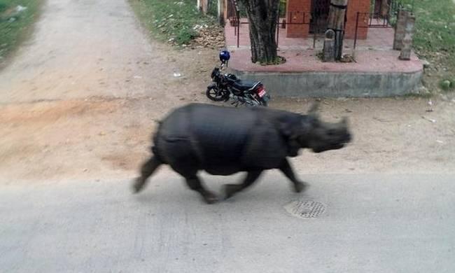 ρινόκερος Νεπάλ Εικόνες