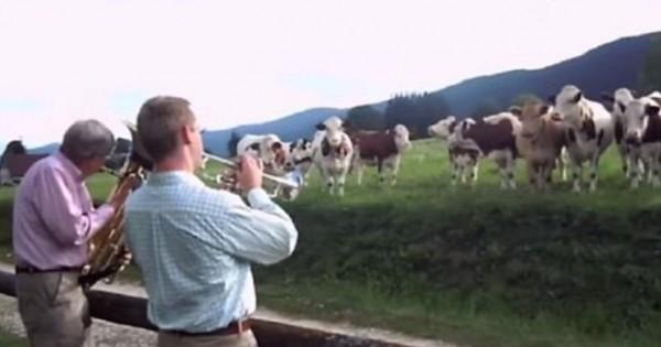 Τι γίνεται όταν μια μπάντα παίζει τζαζ σε ένα κοπάδι αγελάδων;