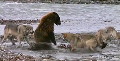 Αρκούδα εναντίον λύκων – Ποιος βγαίνει νικητής;