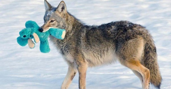 Tα άγρια ζώα έχουν μια ευαίσθητη πλευρά και αυτό το κογιότ μας το αποδεικνύει! (εικόνες)