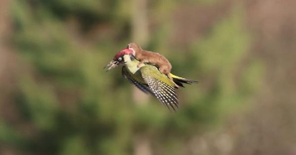 Εκπληκτική φωτογραφία: Νυφίτσα πετάει μαζί με έναν τρυποκάρυδο