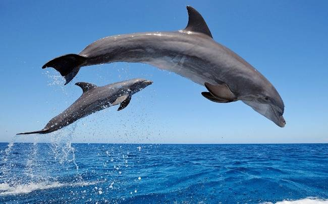 common_bottlenose_dolphins-1920x1080---Copy