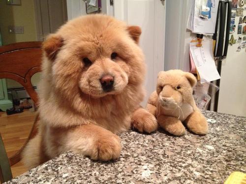Σκύλος αρκουδάκια