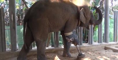 Συγκινητικό: Ανάπηρος ελέφαντας απέκτησε τεχνητό πόδι [βίντεο]