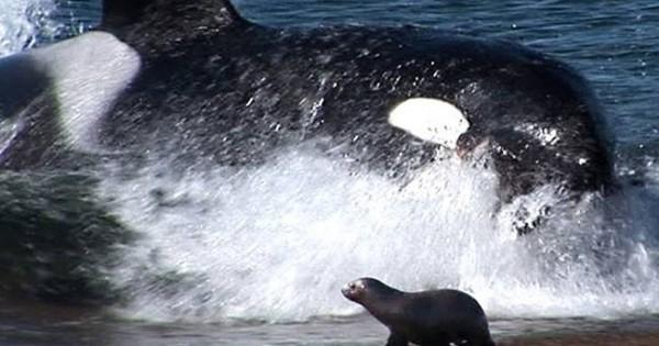 Φάλαινα δολοφόνος επιτίθεται στη στεριά! (βίντεο)