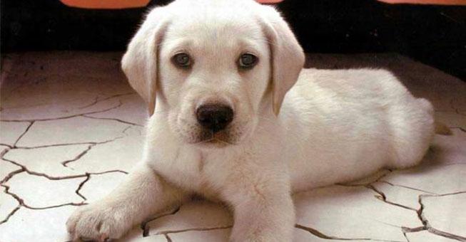 φόλα Σκύλος