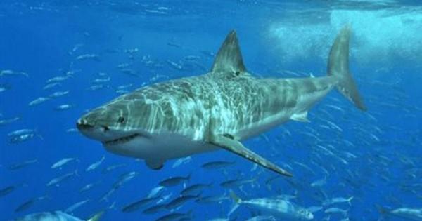 Γιατί δεν θα δείτε ποτέ τον λευκό καρχαρία να σας πλησιάζει