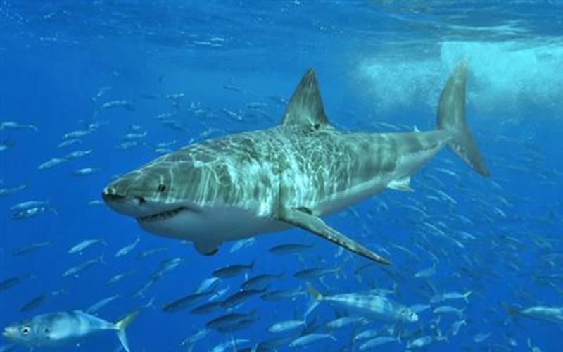 λευκός καρχαρίας καρχαρίας