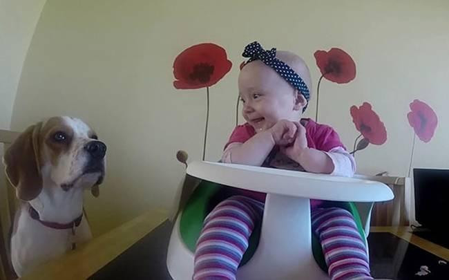 Βίντεο Beagle babysitter