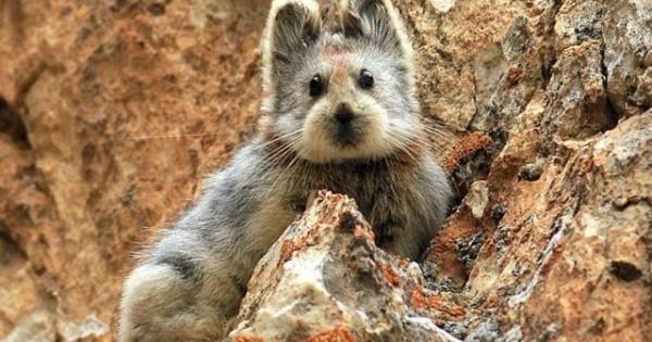 Το σπάνιο, μικροσκοπικό θηλαστικό Ili Pika της Κίνας (εικόνες)