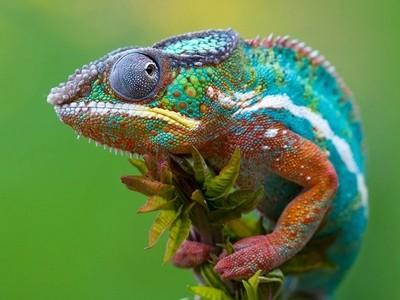 Πώς αλλάζουν οι χαμαιλέοντες χρώματα; Το μυστικό αποκαλύφθηκε!