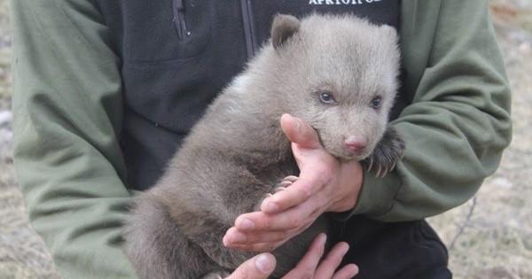 Προσπάθησαν να κλέψουν νεογέννητο αρκουδάκι στις Πρέσπες!