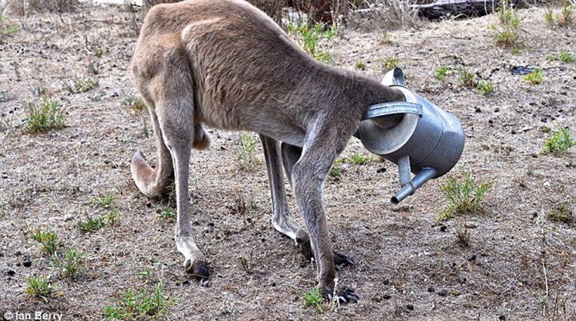 Καγκουρό Αυστραλία