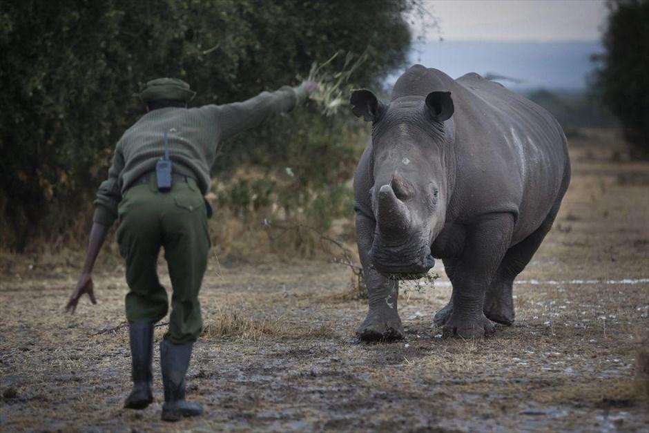 λευκός ρινόκερος Κένυα εξαφάνιση