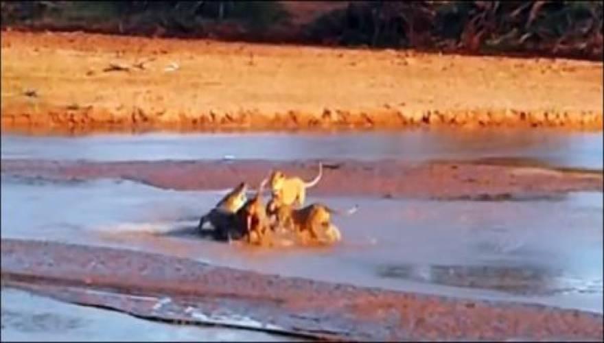 λιοντάρια κροκόδειλος Βίντεο