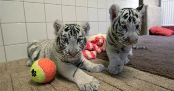 Σπάνια λευκά τιγράκια σε ζωολογικό κήπο της Ουγγαρίας (βίντεο)