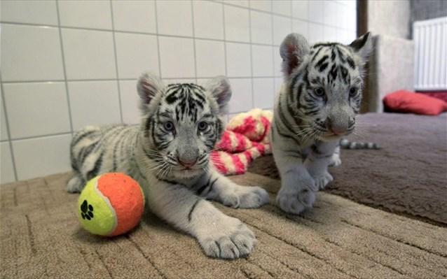 λευκά τιγράκια ζωολογικός κήπος