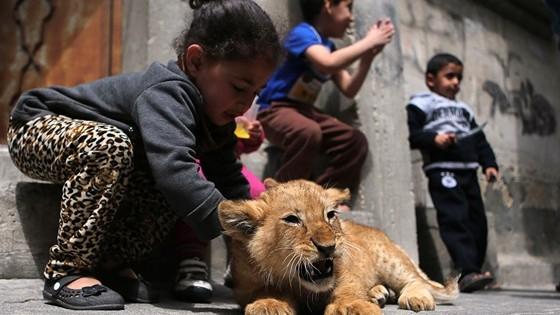 Γάζα: Μεγαλώνει στο σπίτι του… νεογέννητα λιονταράκια!