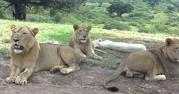 Λιοντάρι ανοίγει την πόρτα αυτοκινήτου που είναι γεμάτο με τουρίστες (Video)