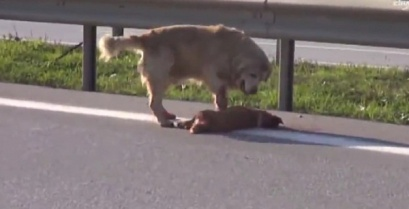 Θα σας κάνει να δακρύσετε… Σκύλος προσπαθεί να βοηθήσει το νεκρό φίλο του (βίντεο)