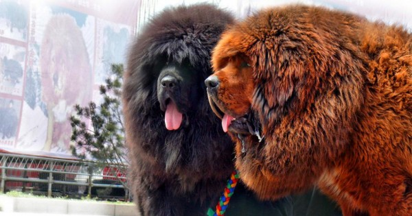 Γνωρίστε 8 γιγαντιαίες φυλές σκύλων! (εικόνες)