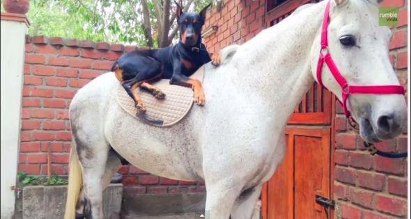 Η ιδιαίτερη φιλία ανάμεσα σε ένα ντόπερμαν και ένα άλογο που συγκινεί (βίντεο)
