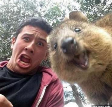 Καγκουρό selfie quokka