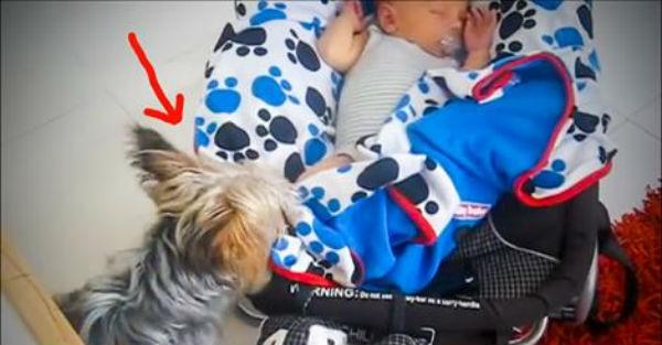 Αυτό το γιόρκσαϊρ  σκεπάζει το νεογέννητο μωράκι για να μην κρυώσει (βίντεο)