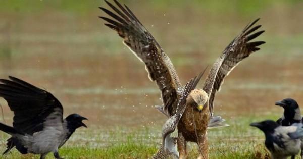 Ένας Γερακαετός βάζει τέλος στο μεγάλο ταξίδι της Τουρλίδας και μας θυμίζει ότι οι νόμοι της φύσης είναι σκληροί, αλλά η ζωή πάντα συνεχίζεται (εικόνες)