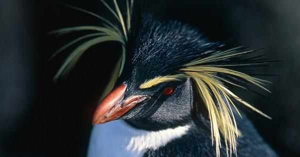 Πιγκουίνοι με… λοφίο (Φωτογραφίες)