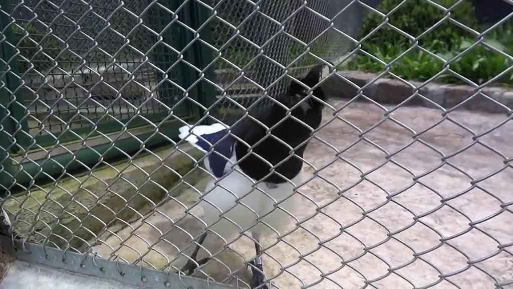 πουλί ήχος Βραζιλία