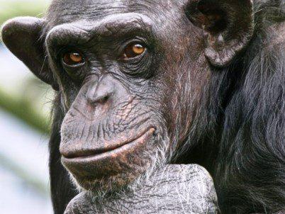 Οι χιμπατζήδες έχουν τα ίδια δικαιώματα με τους ανθρώπους