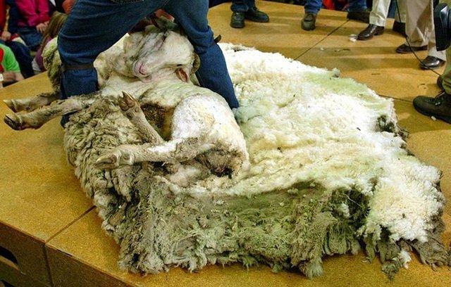 Πρόβατο Κούρεμα