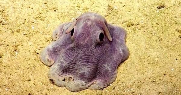 Dumbo Octopus: Το χταπόδι που μοιάζει με ιπτάμενο ελεφαντάκι!