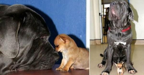 Ο «γίγαντας» και ο «νάνος» που έγιναν αχώριστοι φίλοι! (Εικόνες, Βίντεο)