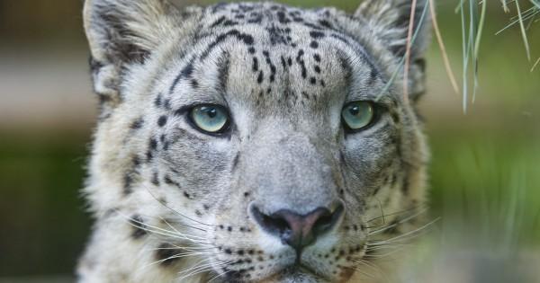 Η πανέμορφη λεοπάρδαλη του χιονιού
