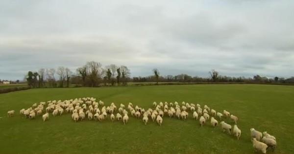 Βοσκός με drone καθοδηγεί τα πρόβατα! Τέρμα ο σκύλος! (video)