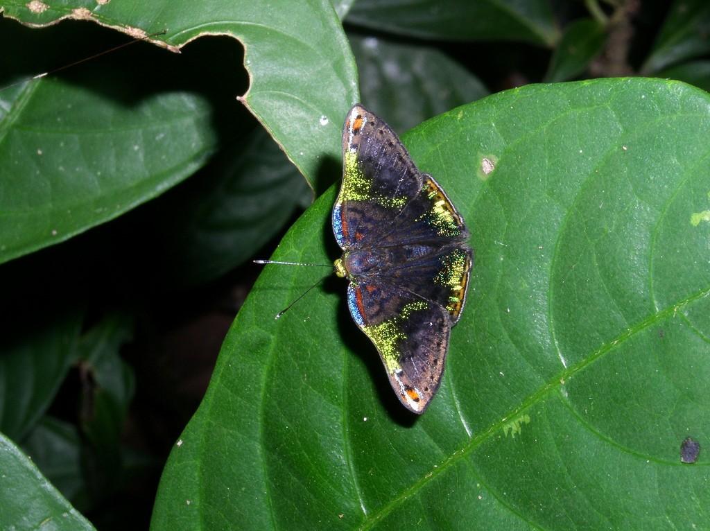 πεταλούδα Caria