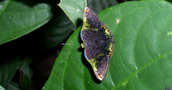 Οι λαμπερές πεταλούδες Caria