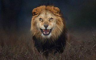 φωτογραφία λιοντάρι