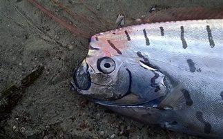 Μυστηριώδες τρίμετρο «ψάρι-κουπί» ξεβράστηκε στη Νέα Ζηλανδία (Εικόνες)